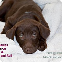 Adopt A Pet :: 3 Chocolate Females - Clovis, CA