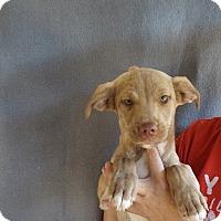 Adopt A Pet :: Zada - Oviedo, FL