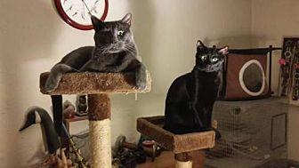 Domestic Shorthair Cat for adoption in Albuquerque, New Mexico - Alexei