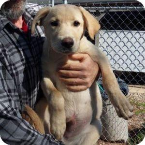 Labrador Retriever Mix Puppy for adoption in Athens, Georgia - Happy