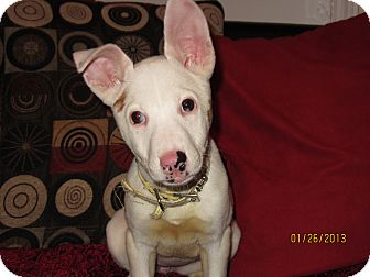 Husky/Pit Bull Terrier Mix Puppy for adoption in Memphis, Tennessee - Valentine
