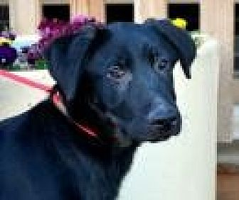 Labrador Retriever Mix Dog for adoption in Jackson, Mississippi - Fletcher