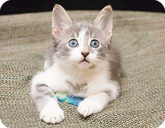 Manx Kitten for adoption in Chicago, Illinois - Sailor