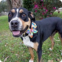 Bernese Mountain Dog Mix Dog for adoption in Green Cove Springs, Florida - Mary