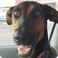 Doberman Pinscher Mix Dog for adoption in Las Cruces, New Mexico - Dobie