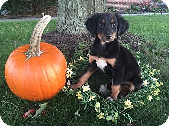 Labrador Retriever/Australian Shepherd Mix Puppy for adoption in New Oxford, Pennsylvania - Iggy