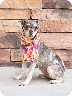 Schnauzer (Miniature) Dog for adoption in Chandler, Arizona - Frida