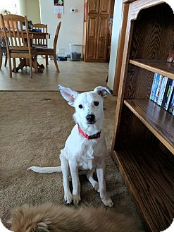 Blue Heeler Mix Puppy for adoption in DeForest, Wisconsin - Scuttle