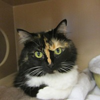 Adopt A Pet :: Princess Mia Sassypants - Kingston, WA