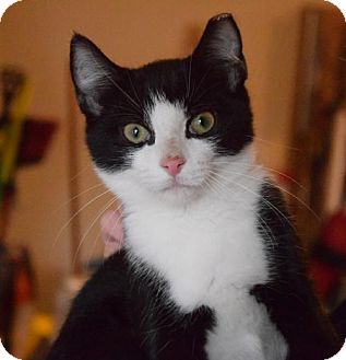 Domestic Shorthair Cat for adoption in Columbus, Indiana - Stan