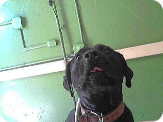 Mastiff Mix Dog for adoption in Beverly Hills, California - BO - ID#A4987257