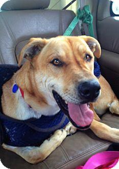 Shar Pei/Great Dane Mix Dog for adoption in Mira Loma, California - Parker