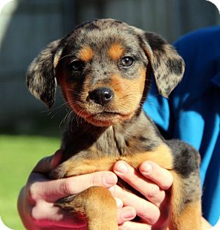 Australian Shepherd Mix Puppy for adoption in Groton, Massachusetts - Breux
