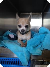 Chihuahua Mix Dog for adoption in Edmonton, Alberta - Pedro