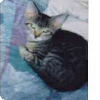 Adopt A Pet :: Violet - Fayette, MO