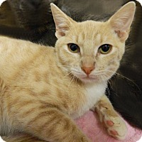 Adopt A Pet :: Marshmallow - The Colony, TX