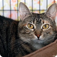 Domestic Shorthair Cat for adoption in St Louis, Missouri - Mia