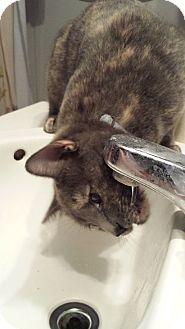 Domestic Shorthair Cat for adoption in Chandler, Arizona - Cleo