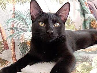 Domestic Shorthair Cat for adoption in Ventura, California - Perry