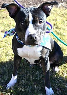 Pit Bull Terrier Dog for adoption in Dallas, Georgia - Black Pearl