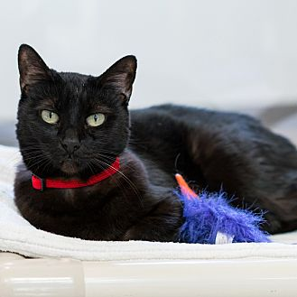 Domestic Shorthair Cat for adoption in Houston, Texas - Tali