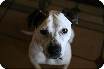 Cattle Dog/American Bulldog Mix Dog for adoption in Springfield, Missouri - T