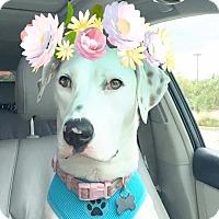 Adopt A Pet :: Blanca - Aubrey, TX