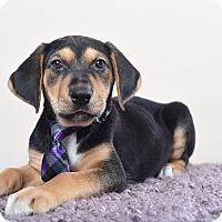 Adopt A Pet :: Yanni - Houston, TX