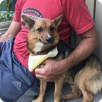 Adopt A Pet :: Mazie - Manchester, NH