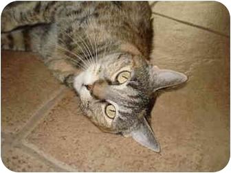 Domestic Shorthair Cat for adoption in Mesa, Arizona - Crash