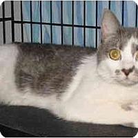 Adopt A Pet :: Paris - DeClawed - Cincinnati, OH