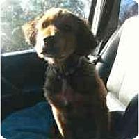 Adopt A Pet :: Jingle - Alexandria, VA