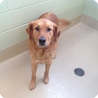 Adopt A Pet :: Honey - New Canaan, CT