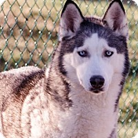 Siberian Husky Dog for adoption in Horsham, Pennsylvania - Nakoma