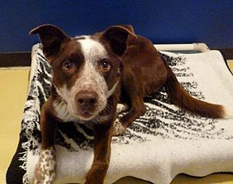 Australian Shepherd/Cattle Dog Mix Dog for adoption in Diamondville, Wyoming - Frisco