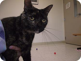 Domestic Shorthair Cat for adoption in Chambersburg, Pennsylvania - Amber