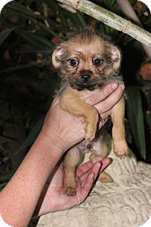 Chihuahua Mix Puppy for adoption in San Francisco, California - Scout