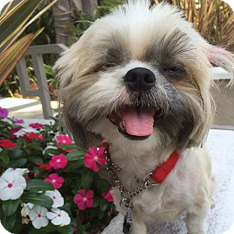 Shih Tzu Mix Dog for adoption in Los Angeles, California - GISELLA