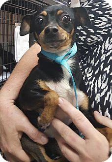 Chihuahua Mix Dog for adoption in Savannah, Georgia - Sushi