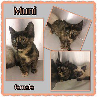 Domestic Shorthair Kitten for adoption in Richmond, California - Muni