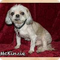 Shih Tzu Dog for adoption in Orlando, Florida - McKinzie