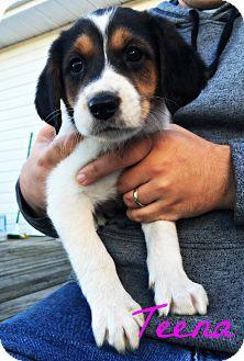 Treeing Walker Coonhound/Beagle Mix Puppy for adoption in Virginia Beach, Virginia - Teena