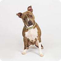 Adopt A Pet :: Gibson - Richmond, VA