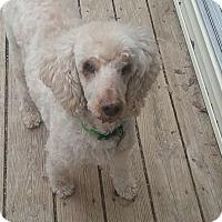 Adopt A Pet :: Cosmo - Winchester, VA