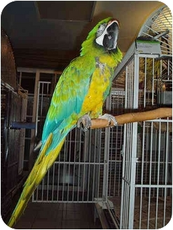 Macaw for adoption in Fountain Valley, California - Sam