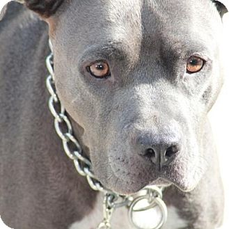 Pit Bull Terrier Mix Dog for adoption in Seattle, Washington - Indy