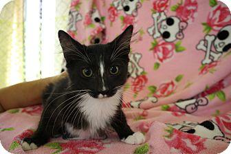 Domestic Shorthair Kitten for adoption in Fountain Hills, Arizona - GOLIATH