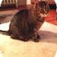 Adopt A Pet :: Tabby - Manchester, CT