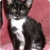 Adopt A Pet :: Schwarz - Colmar, PA