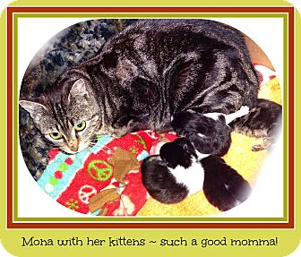 Domestic Shorthair Cat for adoption in New Richmond,, Wisconsin - Mona